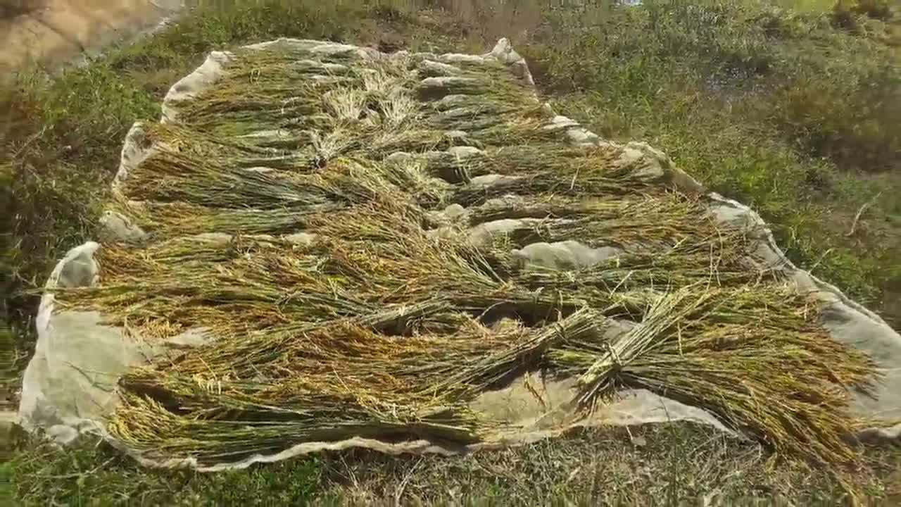 มหาสารคาม-เกษตรกรเร่งเกี่ยวข้าวขึ้นจากน้ำท่วมขัง3เดือน